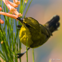 Olive Back Sunbird (OneBrandMan) Tags: nature sunbird birds nectar feeding