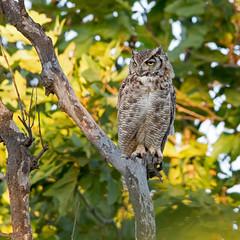 Great Horned Owl (wlb393) Tags: greathornedowl birdsofprey sycamoregrove livermore s8m5658
