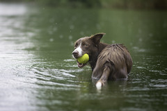 100% Wave (Wiktoria Frąszczak) Tags: dog dogphotography pet animal animalphoto bordercollie chocolate wave green water wet ball swimming swimmer