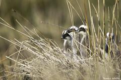 Cape Barren Goslings (Jims Wildlife) Tags: capebarrengoose gosling bird phillipisland australia cereopsisnovaehollandiae