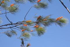 IMG_7178 (jimmynetti) Tags: flower australia tree grevillea