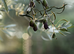 Olives (Bev-lyn) Tags: olives tree plantfruit ourdoors