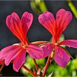 Pelargonium Duo thumbnail