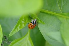 Macro-LadyBugs_48 (ZieBee Media) Tags: ladybug garden
