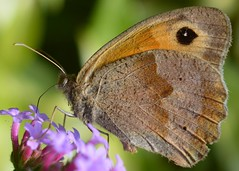 Drink the nectar of love from the flowers of life! (suekelly52) Tags: meadowbrown butterfly flower insect wing wingwednesday