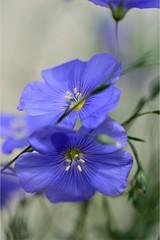 Fleurs de Lin (Anabelle67) Tags: france fleur flower macroworld macrophoto macroofourworld macrophotographie macrodream macro naturebynikon fantasticnature nikon nikond5300 tamron90mmf28 tamron splendide beautiful beauty colorful blue bleu petals