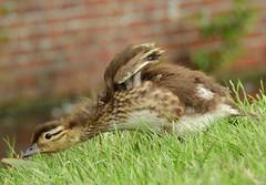 Mandarin duckling (PhotoLoonie) Tags: duck mandarinduck mandarinduckling duckling nature wildlife