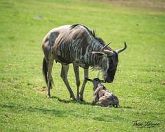 Wildebeest and Baby Calf (ToddLahman) Tags: wildebeest calf baby sandiegozoosafaripark safaripark safaritram safari mammal outdoors beautiful canon7dmkii canon canon100400 escondido