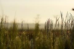 I love early mornings (pszcz9) Tags: polska poland przyroda nature natura zbliżenie closeup kropla dewdrop drop waterdrop rosa dew poranek morning bokeh roztocze beautifulearth sony a77 samyang