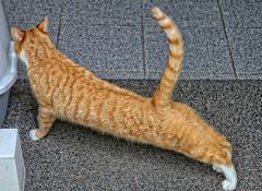 Toon (Steenvoorde Leen - 4 ml views) Tags: 2017 utrechtseheuvelrug doorn pussy puss cat kat poes jong young katze chat minou mieze pussycat gata gato gatta