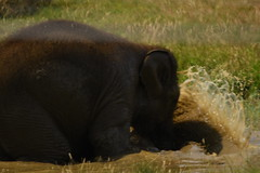 Baby elephant, playing. (JerryGoulet) Tags: woburn safari park zoo animal animals elephant wildlife nikon england iso wildlifesafaripark colours angle water playing games pond muddywater hot colors