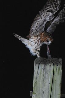 Tawny Owl DSC_2816