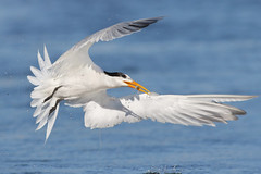 Tiny catch of the day! (bmse) Tags: elegant tern bolsa chica fish fishing drops water wings white blue canon 7d2 400mm f56 l bmse salah baazizi wingsinmotion