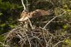 Nesters {Explored} (ChicagoBob46) Tags: osprey bird yellowstone yellowstonenationalpark nature wildlife explore explored coth5 sunrays5