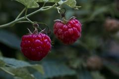Ripe Raspberries (brucetopher) Tags: fruit freshfruit garden berry berries homegrown raspberry rasberries red