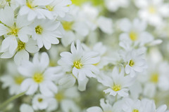 Simple Elegance (Synapped) Tags: white flower bunch many
