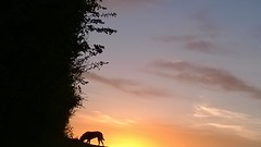Sunrise silhouette (Jo. Jo.) Tags: sunrise clouds horizon labrador retriever black silhouette east anglia england warm arable land peaceful atmospheric blue orange yellow sky