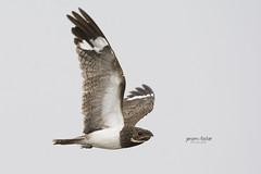 Flight of the Nighthawk (J. E. Foster) Tags: caribbean chordeilesnacunda nacundanighthawk nikond7100 rahamuttrace sigma150500mmf563dgoshsm trinidadandtobago woodland animal bird nature wildlife