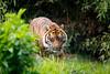 IMG_5916 (TvdMost) Tags: blijdorp pantheratigrissumatrae sumatraansetijger sumatrantiger tijger