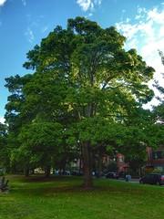 Beautiful Maple (sander_sloots) Tags: maple tree acer esdoorn boom statensingel rotterdam blijdorp