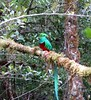 How long is my tail? Resplendent quetzal (Pharomachrus mocinno), Paraiso del Quetzal, Costa Rica, Nov 2016 (Judith B. Gandy (on and off, off and on)) Tags: quetzal pharomachrus quetzals aves birds trogons costarica paraisodelquetzal pharomachrusmocinno resplendentquetzals