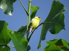 Goldfinch BEST DSC09679 (BayonneBirder) Tags: bird finch yellow black goldfinch