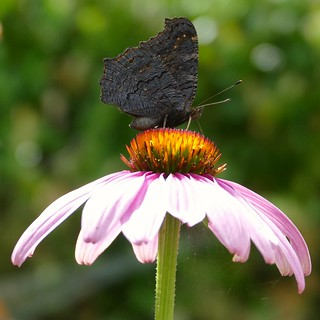 side view of a peacock butterfly on echinacea