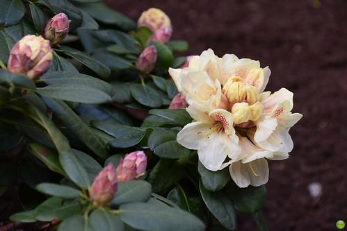 Creamy azaleas