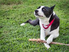 Star dog (rickmcnelly) Tags: dog gx8 star mc rokkor 58mm 14 mcrokkor58mm14