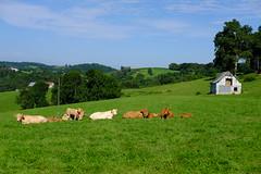 Les vaches et les veaux semblent paisibles mais sont tout de même sur leurs gardes (alainlecroquant) Tags: coteauxdesaintpédebigorre saintpédebigorre coteaux abbatiale palombière randonnée hautespyrénées vaches lavoir ferme cheval vtt fleurs