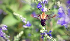 Sipping From The Scutellaria (Lala Lands) Tags: hummingbirdclearwingmoth hemaristhysbe skullcap scutellariaincana pollinatorfriendly summergardens summermorninglight bokeh shallowdof nikkor105mmf28 nikond7200