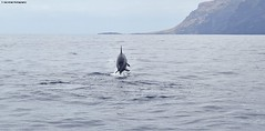 Saltos (Ecalveras) Tags: delfín dolphin mular cetáceo cetacean mamífero mammal marino marine gris grey océano ocean atlántico atlantic avistamento sighting canarias canaryislands salto saltar jump marítimo maritime animales animals agua wather