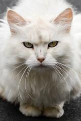 White cat (Johnchess) Tags: 24july2017 nikond600 whitecat