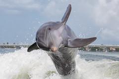 Atlantic Bottlenose Dolphin (toryjk) Tags: atlantic atlanticocean atlanticbottlenosedolphin tursiopstruncatus tursiops bottlenosedolphin bottlenose commonbottlenosedolphin sanibelisland sanibel captiva captivaisland wild thriller