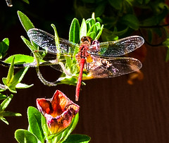 Dragonfly Shimmer (Jane Olsen ( Chardonnay)) Tags: insect dragonfly wings shimmer leaves outdoor calgary summer