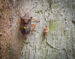 Pentatoma Rufibes (Red-legged Shieldbug)