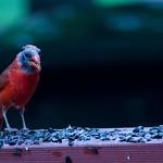 A bald male cardinal thumbnail