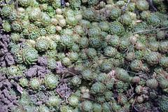 Prometheum chrysanthum subsp. chrysanthum (Syn. Rosularia chrysantha (Boiss.) Takht.) - BG Meise