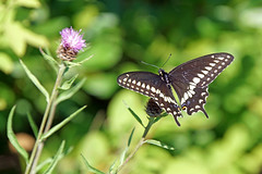 DSC08392 - Black Swallowtail (archer10 (Dennis) 104M Views) Tags: halifax ship tall sails sony a6300 ilce6300 18200mm 1650mm mirrorless free freepicture archer10 dennis jarvis dennisgjarvis dennisjarvis iamcanadian novascotia canada