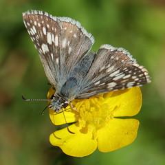 IMG_9131 (Vox Sciurorum) Tags: insect butterfly skipper pyrguscommunis riddellstatepark newyork canon100