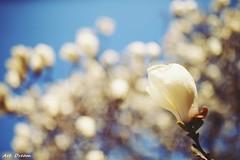 _52R7741 (Dream Deliverd) Tags: flower korea spring artdream art dream sunrays5 lisesmasterpiecesgallery timelessmomentshof
