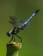 DragonFly_SAF8891 (sara97) Tags: odonata dragonfly insect missouri mosquitohawk nature outdoors photobysaraannefinke predator saintlouis towergrovepark towergrovepark2017 urbanpark