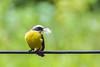 9K0A1444 Social Flycatcher, Myiozetetes similis. (jwsteffelaar) Tags: myiozetetessimilis socialflycatcher taxonomy:binomial=myiozetetessimilis