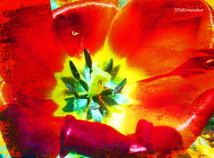 Red Tulip (Stephenie DeKouadio) Tags: canon art artistic artwork macro macroabstract beautiful beauty flower flowerabstract flowersabstract abstractflower abstractflowers tulip tulips abstract abstractart