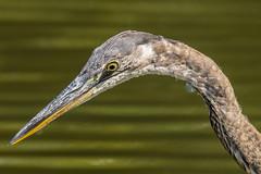 Great Blue Heron (mjeedelbr) Tags: greatblueheron