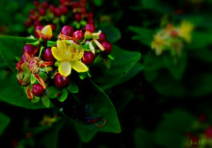 Antidepression - maybe in your garden ! (Jan 130) Tags: stjohnswort antidepressant jan130 hypericumperforatum topazglow ngc npc coth5