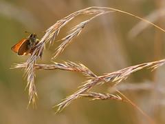 Small Skipper High On Grass (bredmañ) Tags: skipper butterfly insect grass female uk british wildlife nature wild handheld naturallight garden closeup macro 300mmf4 em1 olympus dof bokeh