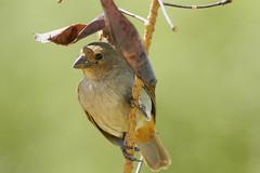 Lesser Antillean Bullfinch (female) (ronmcmanus1) Tags: antigua bird nature outdoors wildlife jollyharbour stmarysparish antiguabarbuda
