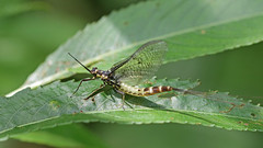Mayfly - Ephemera vulgata (jaytee27) Tags: mayfly ephemeravulgata naturethroughthelens