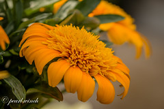 Golden beauty (pearl.winch) Tags: 10thjuly2017 rhshydehall 8409 naturethroughthelens